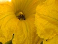 abeilles collecte du pollen (1)