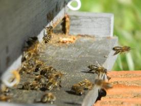 abeilles planche d'envol (1)
