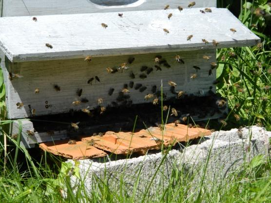 abeilles planche d'envol (2)