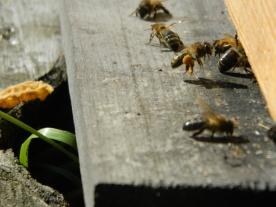 abeilles pollen