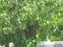 abeilles récupération d'un essaim (1)
