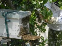 abeilles récupération d'un essaim (2)