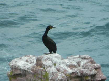 cormorans (2)