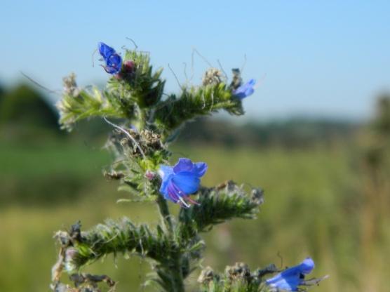 fleurs pointe aux chèvres en juillet (1)