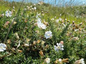 fleurs pointe aux chèvres en juillet (11)