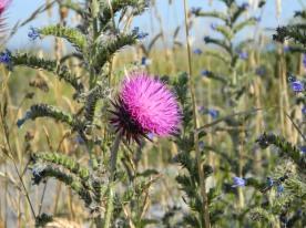 fleurs pointe aux chèvres en juillet (3)