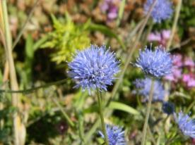 fleurs pointe aux chèvres en juillet (8)