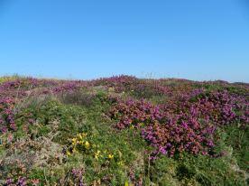 fleurs pointe aux chèvres en juillet (9)