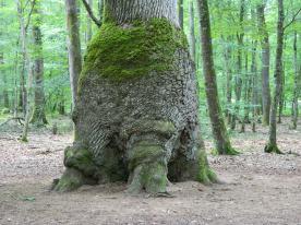 forêt de tronçais (18)